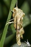 Phlogophora-meticulosa/die Achateulemotte Stockfotografie