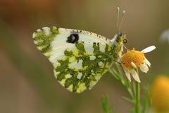 Phlomidis van vlinderspialia Stock Afbeeldingen