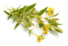 Phlomis Fruticosa 共同的名字包括耶路撒冷贤哲和lampwick植物 r 库存照片