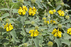 Phlomis fruticosa (Jerusalem sage) Stock Image