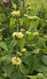 Phlomis fruticosa lub Jerozolimska mędrzec Obraz Stock