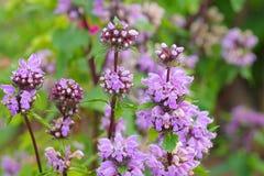 Phlomis maximowiczii a wildflower Royalty Free Stock Photos