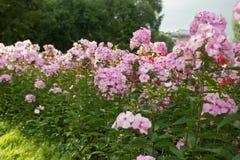 phlox сада Стоковое фото RF