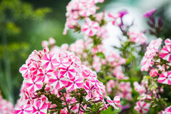 phlox сада Стоковая Фотография RF