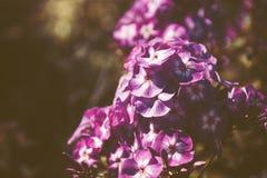 phlox сада Стоковые Фото