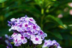 phlox сада Стоковые Фотографии RF