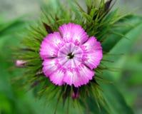 phlox цветка Стоковое Изображение