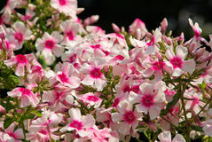 Phlox Royalty Free Stock Photos