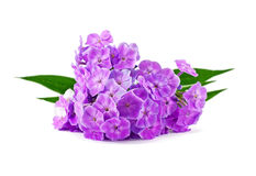 Phlox Royalty Free Stock Photo