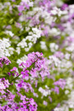 Phlox Royalty Free Stock Image