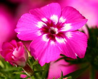 phlox Fotos de Stock