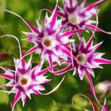 phlox Royaltyfria Bilder