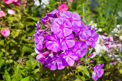 phlox Foto de Stock Royalty Free