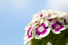 phlox Photographie stock