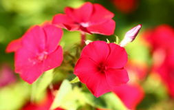 phlox Images stock