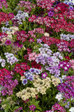 phlox Photos stock