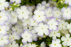 Phlox background Royalty Free Stock Photo