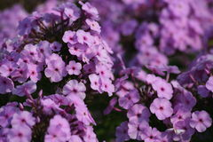 Phlox background. Phlox in close up is ideal violet flowers background Stock Photos