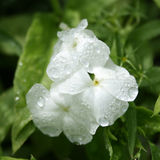 Phlox bianco Fotografia Stock