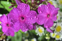 Phlox  with big waterdrops Stock Photos