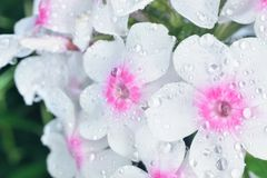 Phlox  with big waterdrops Royalty Free Stock Photo