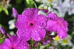 Phlox  with big waterdrops Stock Photo