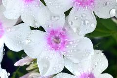 Phlox  with big waterdrops Royalty Free Stock Image
