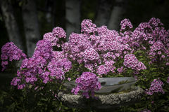 Phlox Birdbath. Phlox flowers growing around a birdbath Royalty Free Stock Photos