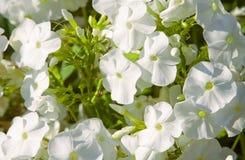 Phlox blanc Photos libres de droits