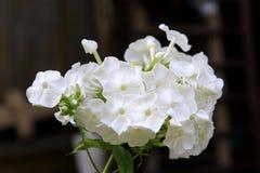 Phlox blanc photographie stock