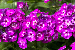 Phlox Blooms. A front view of a group of phlox blooms royalty free stock images