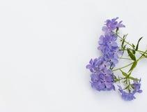Phlox Blue Moon Flowers. Phlox divaricata `Blue Moon` Flowers on white background Royalty Free Stock Photos