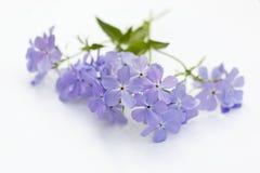 Phlox Blue Moon Flowers on white background. Phlox divaricata `Blue Moon` Flowers on white background Stock Photos