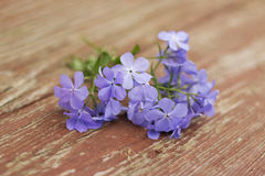 Phlox Blue Moon Flowers on wooden background. Phlox divaricata Blue Moon Flowers on red wooden background Stock Photography