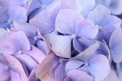 Phlox-Blume Lizenzfreie Stockfotos