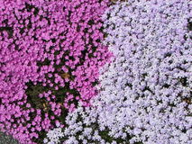 Phlox carpet. A matt of creeping phlox blooms in the spring sunshine at the Botanic Garden Royalty Free Stock Photography