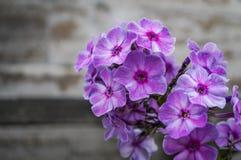 Phlox coloré en fleur de lit de fleur en été Images libres de droits