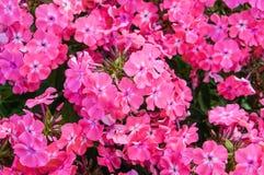 Phlox coloré en fleur de lit de fleur en été Photographie stock