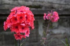 Phlox coloré en fleur de lit de fleur en été Photos stock
