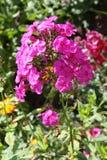 Phlox cor-de-rosa Imagem de Stock