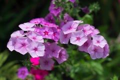 Phlox cor-de-rosa Fotografia de Stock Royalty Free