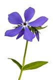 Phlox de fleur, d'isolement sur le fond blanc Image stock