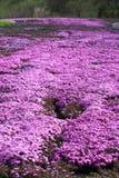 Phlox de mousse rose Photos libres de droits