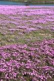 Phlox de mousse rose Image libre de droits