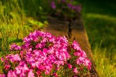 Phlox de rampement en fleur Photos libres de droits