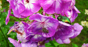 Phlox. Decorative garden plant with numerous fragrant flowers Stock Photography