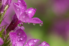 Phlox with Droplet Refractions Stock Image