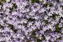 Phlox - Emerald Blue Royalty Free Stock Images