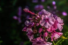 Phlox Fleur de jardin Photos stock
