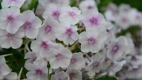 Phlox fleurissant abondant blanc dans grand banque de vidéos